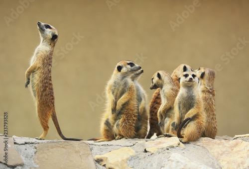 Fototapeta Group of watching surricatas outdoor