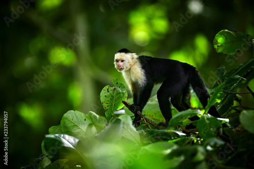 Fotografía  White-headed Capuchin, black monkey sitting on tree branch in the dark tropic forest