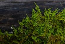 Green Fern Moss Growing On A Log