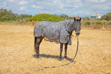 Black Horse Looking With Zebra Blanket To Protect From Sun In The Countryside Of Cadiz, Spain