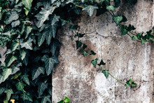 The White Wall With The Ivy For Nature Background. Copy Space For Text