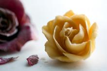 Close Up Of Buttercream Rose F...