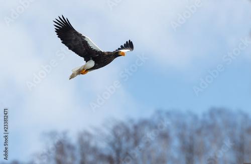 Poster Aigle Adult Steller's sea eagle in flight. Winter Mountain background. Scientific name: Haliaeetus pelagicus. Natural Habitat. Winter Season.
