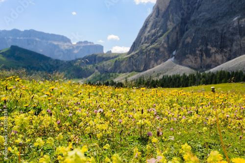 Photo Prato fiorito in giallo sulle Dolomiti ai piedi del Sassolungo
