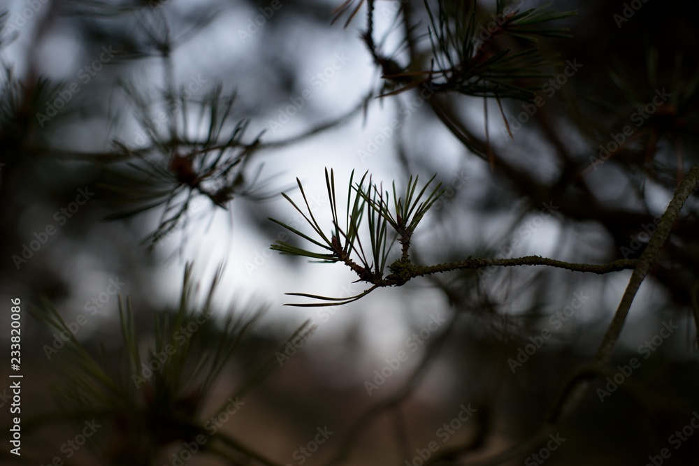 Pine cone on a twig, needle background.