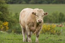 Pedigree Charolais Bull Free R...