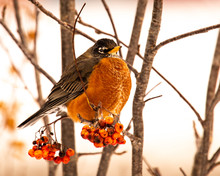An American Robin Perched In A Mountain Ash Tree With Berries In Winter.