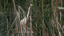 Australian Great Eastern Egret Fishing For Food In A Pond Or Marsh. Long Neck Wobbling As It Extends Up High.