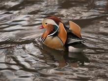 Mandarin Duck Swimming Away In New York City