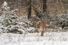 Amur Leopard Walking Through A...