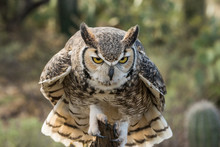 Great Horned Owl, Perched And ...