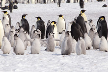 A Large Group Of Emperor Pengu...