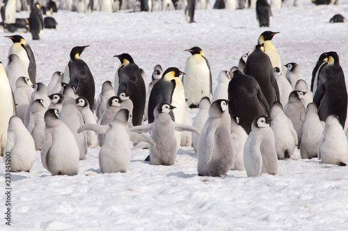 Cuadros en Lienzo A large group of emperor penguin chicks at Snow Hill, Antarctica