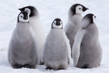 Emperor Penguin Chicks Looking In Different Directions At Snow Hill Emperor Penguin Colony, October 2018.