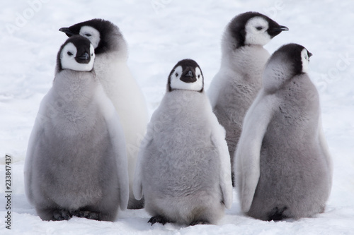 Pingouin Emperor Penguin Chicks looking in different directions at Snow Hill Emperor Penguin Colony, October 2018.