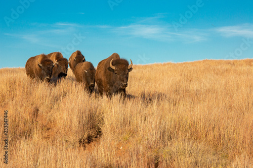 Photo sur Aluminium Buffalo Bison of South Dakota