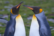 Close Up Of A King Penguin Pai...