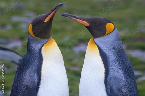 Fotografía Close Up of a King Penguin Pair Facing Each Other
