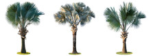 High Palm Trees (Livistona Rotundifolia Or Fan Palm.) Isolated On White Background.