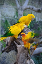 Colorful Yellow Parrot, Sun Co...