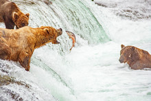 Grizzly Bears Fishing For Salm...