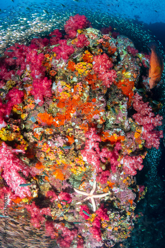 Fototapety, obrazy: Starfish and colorful soft corals on a healthy tropical coral reef