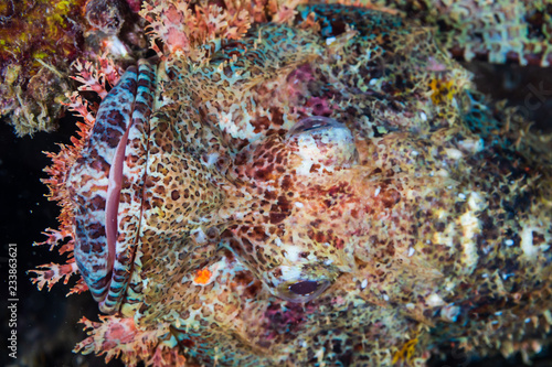 Fototapety, obrazy: Close up of a well hidden Scorpionfish on an underwater shipwreck
