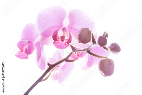 Wall Murals Orchid Rosa Orchidee
