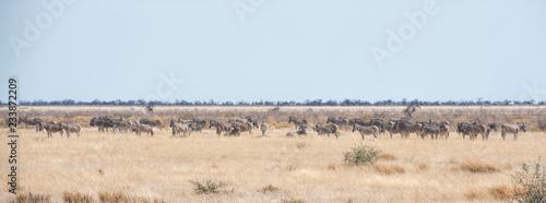 Canvas Prints Zebra zebras in Namibia