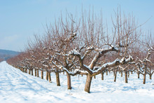 Orchard, Winter