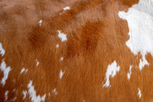 Texture Of A Brown Cow Coat. F...