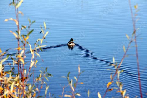 Un canard s'en va