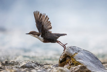 White-throated Dipper, Cinclus Cinclus, Starts Flying Over The River