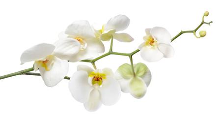 Naklejka na ściany i meble White orchid isolated on white