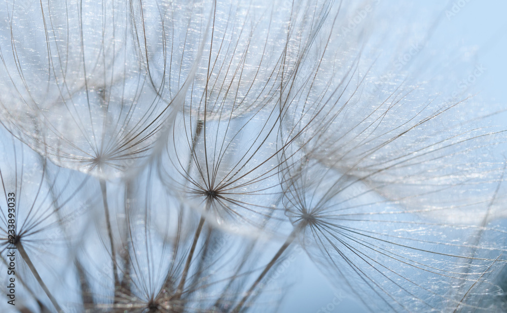 Fototapety, obrazy: dandelion seed background ,seed macro close up