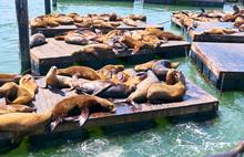 Sea Lions At Pier 39 In San Francisco, California