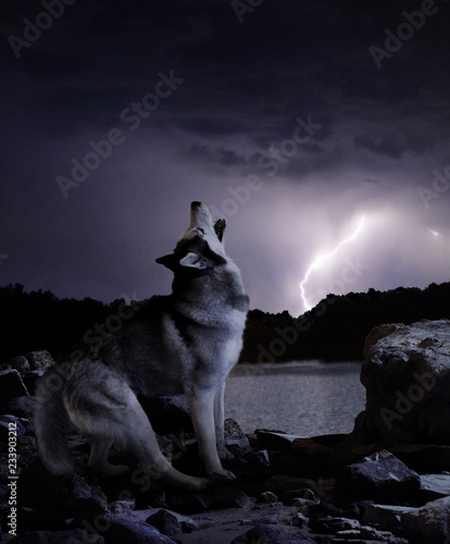 a dark night in a thunderstorm wolf sings his song