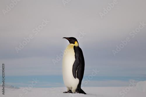 Papiers peints Pingouin Emperor Penguin, Close up, Snow Hill Emperor Penguin Colony, Antarctica