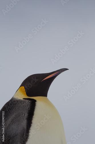 La pose en embrasure Pingouin Emperor Penguin, Snow Hill, Weddell Sea, Antarctica