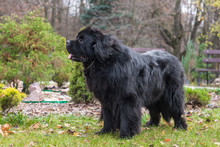 Newfoundland Dog In The Autumn Park