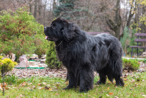 Fototapeta newfoundland dog in the autumn park