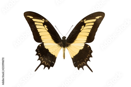 machaon butterfly isolated on a white