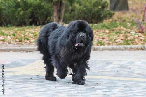 Obraz na płótnie newfoundland dog in the autumn park