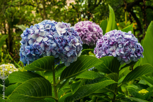 Hydrangea macrophylla blue flowers, with green vegetation background
