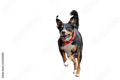 Rennender Hund freigestellt Wallpaper Mural