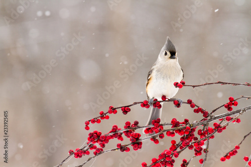 Photo  A close up of a tufted titmouse on a branch of berries