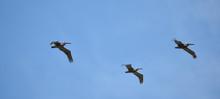 Brown Pelican (Pelecanus Occid...