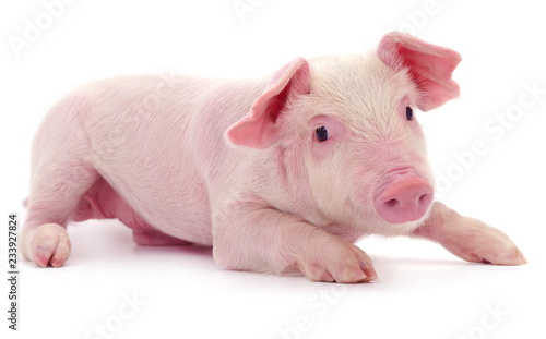 Fotografia Small pink pig isolated.