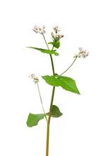 Buchweizen (Fagopyrum Esculentum)