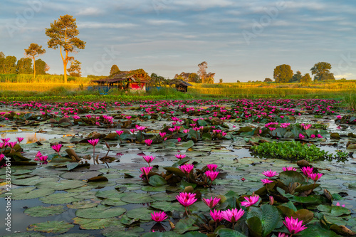 Beautiful early morning landscape of a typical remote countryside of Thailand with a hut, a lotus pond, rice field, sugarcane plantation and some trees